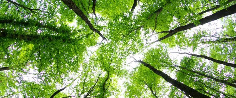 looking up green trees towards the sky
